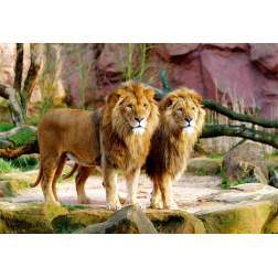 Puzzle Trefl - Lions, 1500 piese (26088)